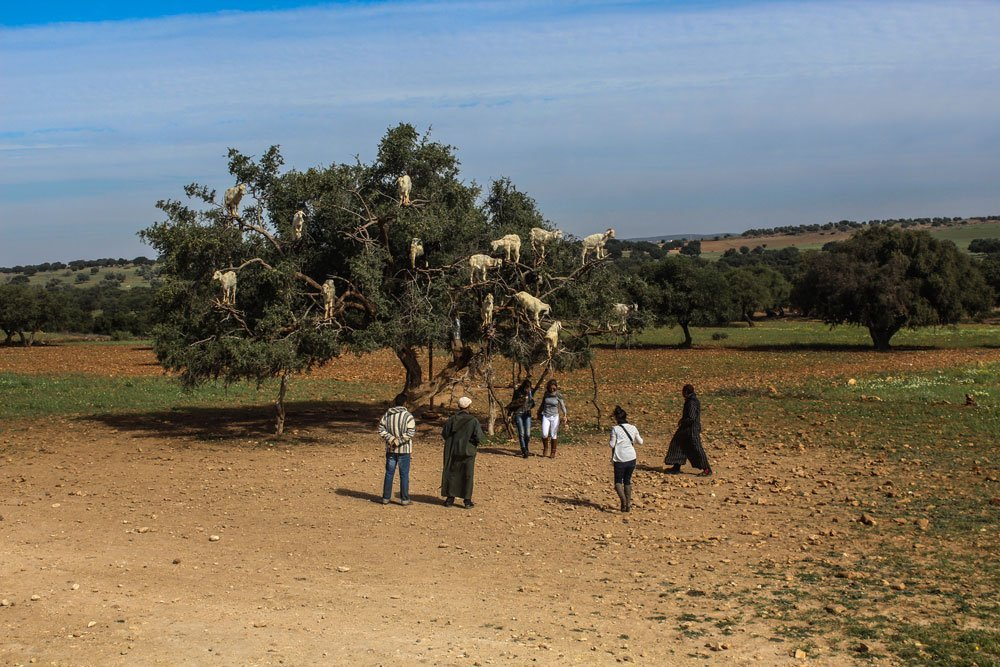 Ever wanted to see the famous goats in trees in Morocco? Me too, unfortunately I walked into a big tourist trap and unhappy goats. The truth behind the argan tree goats.