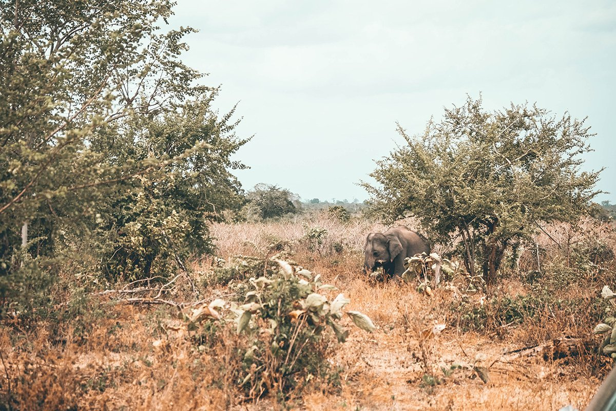 Keen for a Sri Lanka safari to see elephants in the wild? My favorite places to see the Sri Lankan elephant roaming freely.