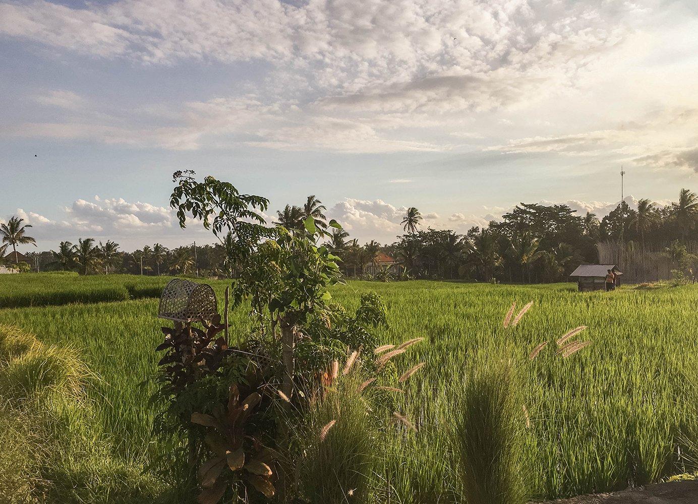 Bali rice paddies during sunset
