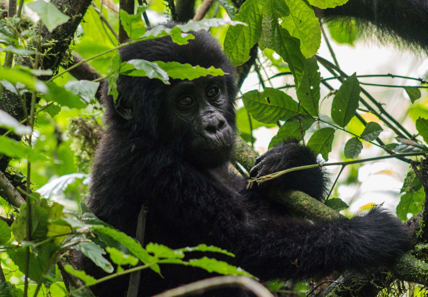 Is your ultimate travel dream to go gorilla trekking in Uganda, Africa? Join the club and read this post because there are a few things I wish I had known before venturing into Bwindi Impenetrable National Park to find mountain gorillas in the mist.