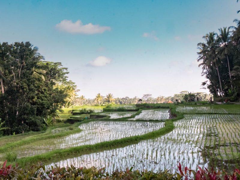Rice paddy in Ubud, Bali