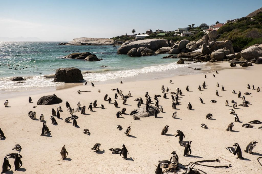 Planning a visit to see the South African Penguins, Cape...